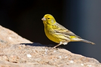 Canaries in Spain